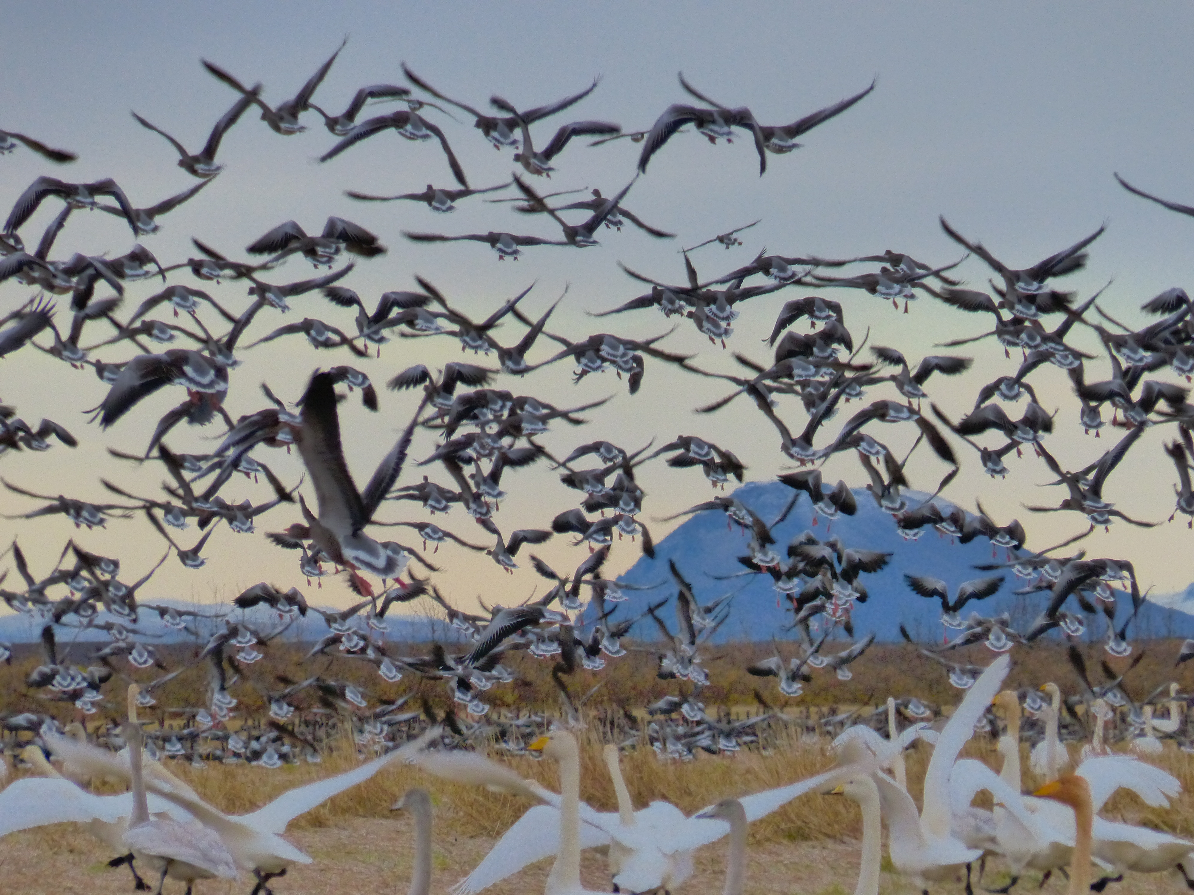 Geese shooting in Iceland