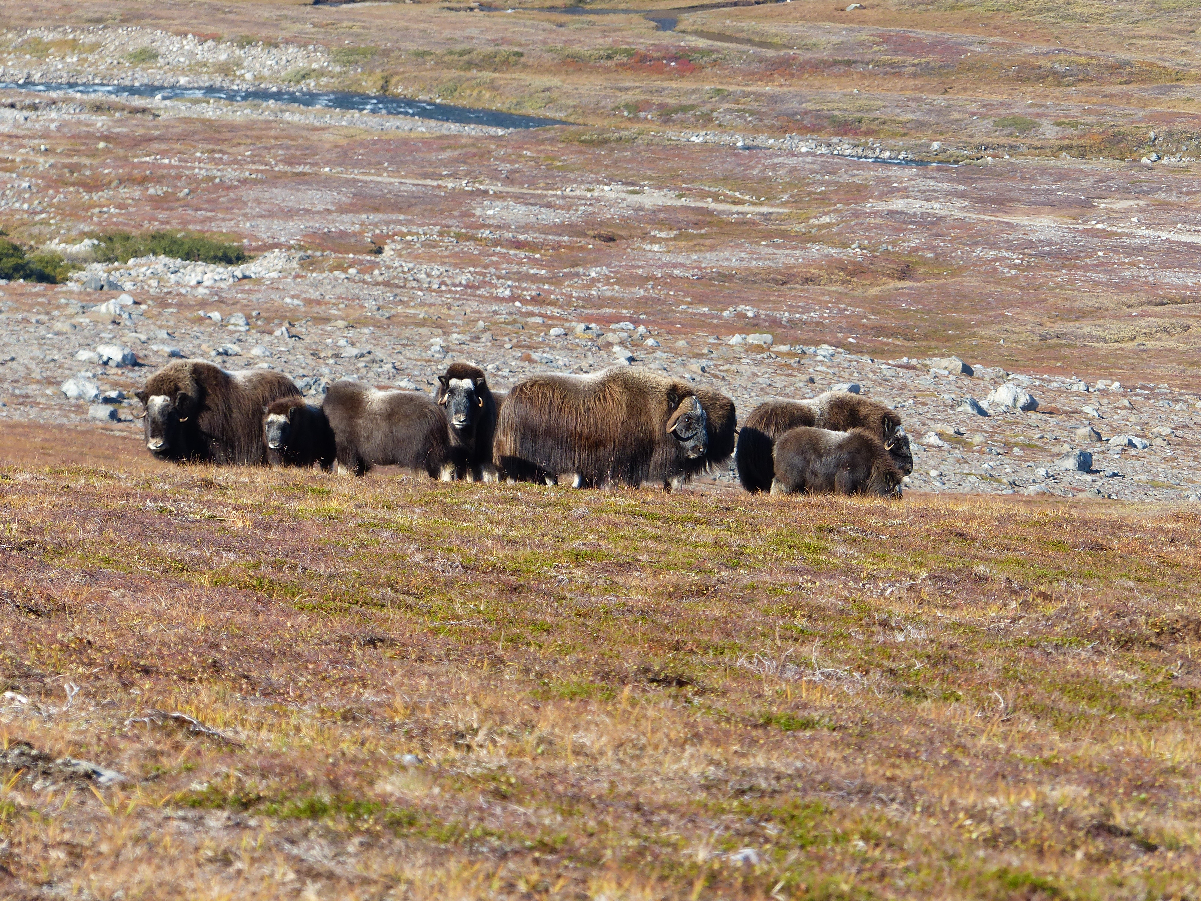 Musk Ox hunting in Greenland